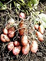 Как удвоить урожай картофеля