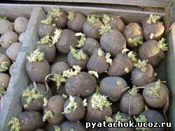 Картофель, пророщенный для посадки
