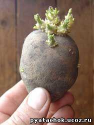 Пророщенный клубень картофеля