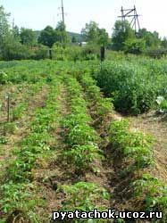Картофель окученный смесью земли и соломы