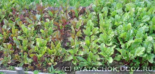 Растения свеклы на перекопанной гряде траве и на растительных остатках