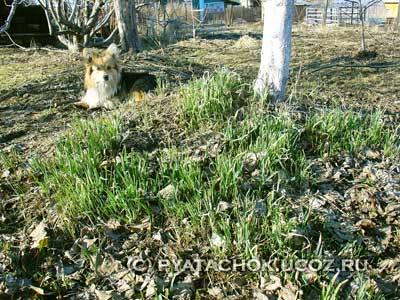 Ранний зеленый лук в конце апреля.