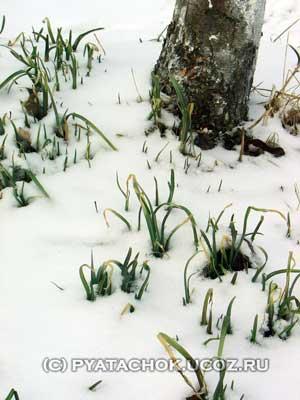 Зеленый лук из под снега.