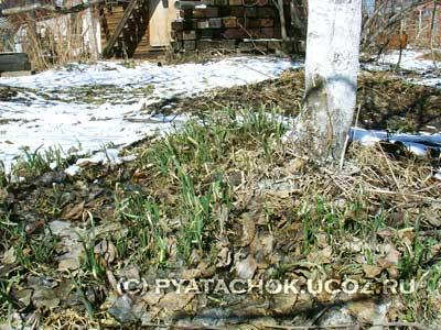 Ранний зеленый лук тронулся в рост.