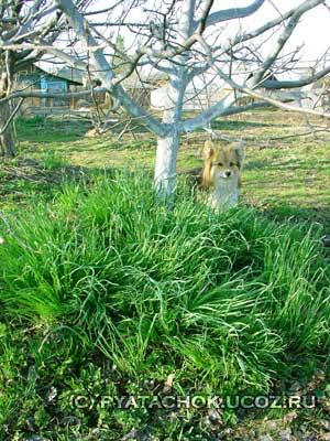 Ранний зеленый лук дал урожай.